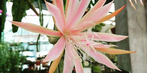 Кактус-орхидея «Королева Татьяна» расцвел в«Аптекарском огороде»