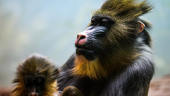 Детеныш мандрилов родился в Московском зоопарке