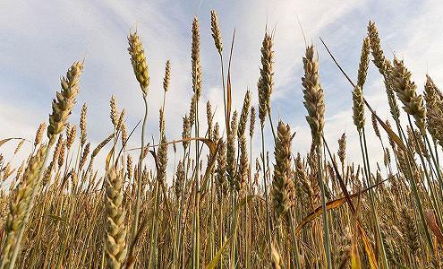 Зерно вырастят про запас