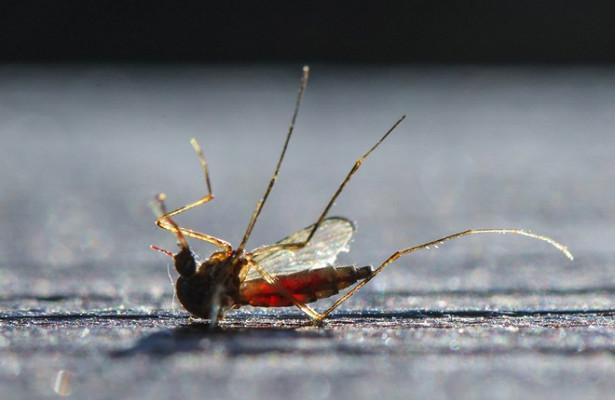 Изучена способность комаров переносить COVID-19