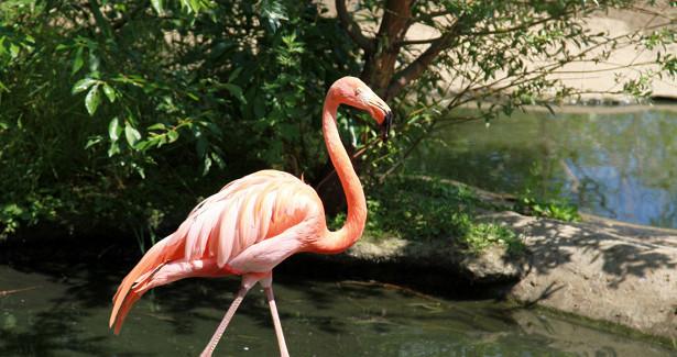 Розовые фламинго подороге наюгрешили передохнуть наозере Караколь