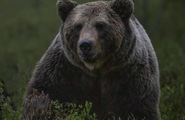 Браконьер застрелил медведя в«Курагинском промхозе»