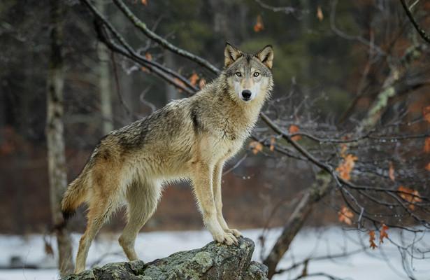 Втамбовских лесах почти неосталось волков