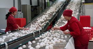 Крупнейший производитель яйца в России испортил экологию под Петербургом