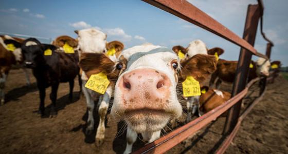 Минсельхоз в 40 раз сократил субсидии молочным фермам