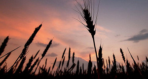 Минсельхоз выступил за отмену пошлины на пшеницу
