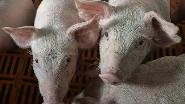 ВКоми из-зачумы отправят наубой более 900свиней