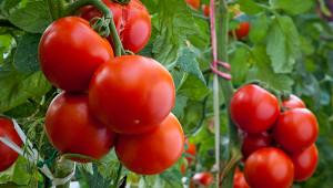 Насколько помидоры полезны дляорганизма