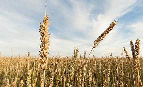 РФ вданном сельхозгоду впервый раз опередит ЕСпообъему экспорта пшеницы