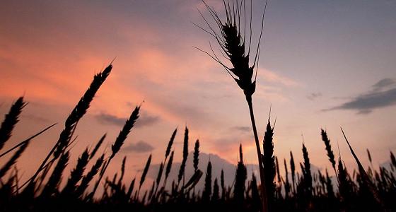 Россия может обогнать США по производству пшеницы