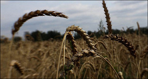 Зерновой союз попросил Медведева отменить экспортную пошлину на пшеницу