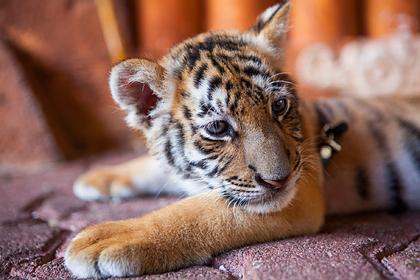 Купленный парой котенок оказался тигренком