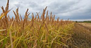 В России ожидается дефицит риса