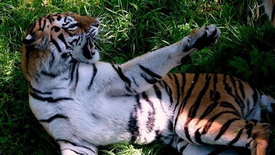 Во Владивостоке полиция ищет тигра, гуляющего по городу