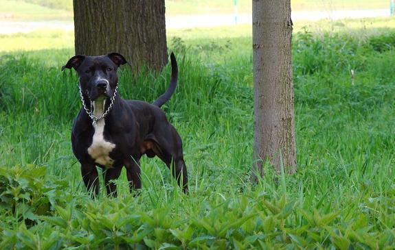 Сенатор Рязанский поддержал идею обобязательных курсах дляхозяев собак крупных пород