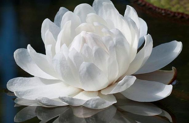 Большая кувшинка виктория амазонская расцветет в«Аптекарском огороде» вечером 20октября