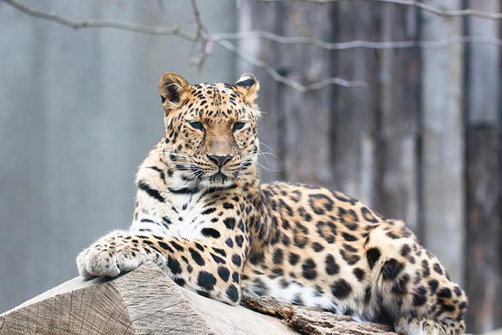 Почти всех дальневосточных леопардов в фонде знают по именам: от Рыси и Невидимки до Мальчика и Верной