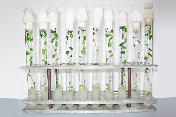 Это ростки картофеля, с которыми работает Алиса Вячеславова