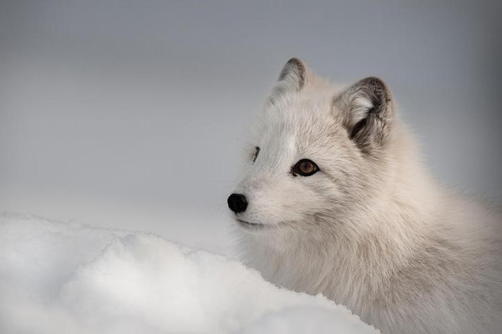 Песец — один из тех, кого спасают активисты «Гринпис» и WWF, критикующие деятельность «Газпром Нефть Шельф» на платформе Приразломная в Ненецком заповеднике