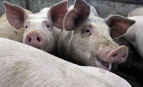«Черкизово» сократило продажи свинины