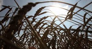 Экспорт российского зерна в Египет вновь оказался под угрозой