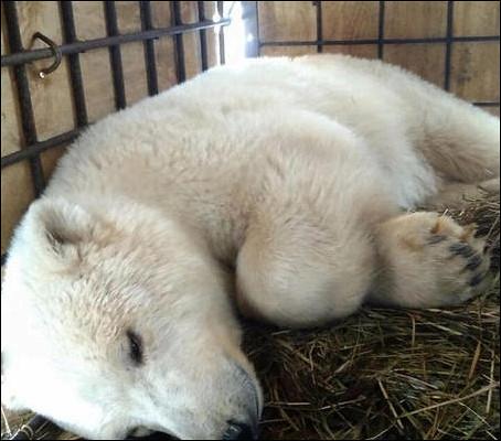 Белая медведица прилетела этой ночью