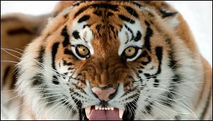 Тигрицу усыпили вШвеции из-заCOVID-19