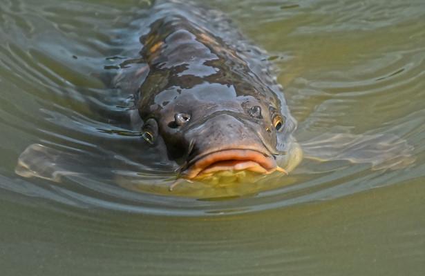 ВРостовской области нашли опасную длячеловека рыбу