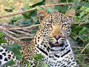 Прокуратура Приморья нашла нарушения взоопарке, гделеопард напал наребенка