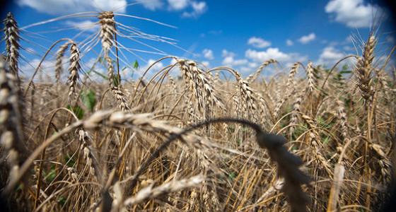 За день аграрии продали в госфонд вдвое больше зерна, чем за два предыдущих месяца