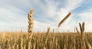Россия может обойти ЕС по экспорту пшеницы