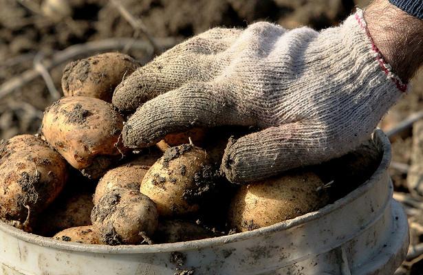 Россияне могут быть оштрафованы завыращивание картошки