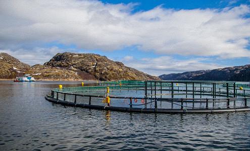 «Русской аквакультуре» могли поставить зараженных мальков из Норвегии