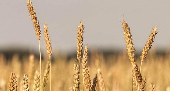 Россия может сохранить урожай зерна на уровне 113-116 млн тонн в 2017 году